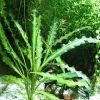 Апоногетон волнистый или живородящий (Aponogeton stachysporus, undulatus)
