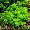 Микрантемум малоцветковый (Micranthemum Micranthemoides, Hemianthus micranthemoides)