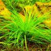 Эриокаулон синериум (Eriocaulon sp. Cinereum)