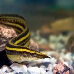 Макрогнатус в аквариуме