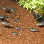 Стая Коридорасов карликовых