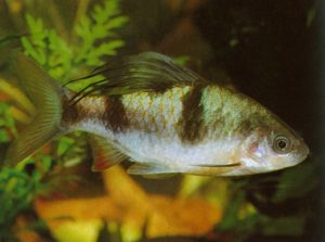 Барбус арулиус (Barbus arulius)