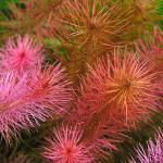 Красная майака