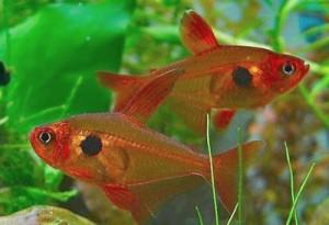 Орнатус красный или красный фантом (Megalamphodus sweglesi)