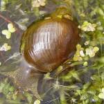 Прудовик обыкновенный (Limnaea stagnalis)
