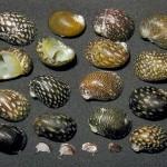 Теодоксусы (Theodoxus fluviatilis)