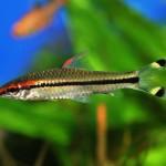 Барбус Денисона (Puntius denisonii)