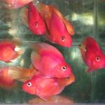 Красный попугай (Red Parrot Cichlid)