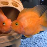 Красный попугай или рыба-попугай (Red Parrot Cichlid)