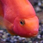 Рыба-попугай (Red Parrot Cichlid)