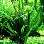 Кринум плавающий (Crinum natans)