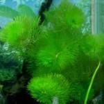 Кабомба водная, обыкновенная (Cabomba aquatica)