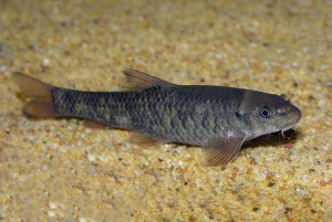Гарра руфа «Рыбка –доктор» (Garra rufa)