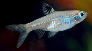 Расбора пятнистоспинная (Rasbora dorsiocellata)