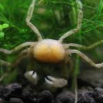 Микрокраб (Limnopilos naiyanetri)