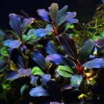Буцефаландра (Bucephalandra)