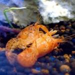 Карликовый Оранжевый рак (Cambarellus patzcuarensis)
