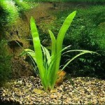 Стрелолист Эатона (Sagittaria eatoni)