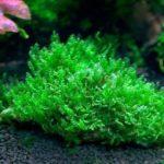Блефаростома (Blepharostoma trichophyllum)